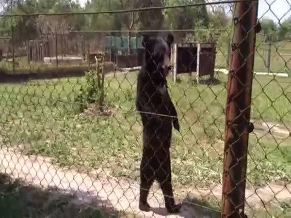Bear Walking On Two Legs