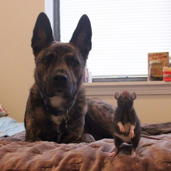 Meet The Dog That's Best Friends With A Rat (15 pics)