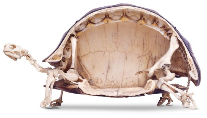 What The Inside Of A Tortoise Actually Looks Like (3 pics)