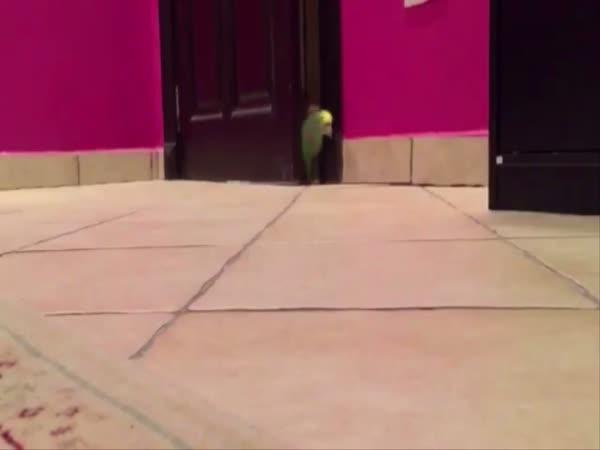 Parrot Laughs