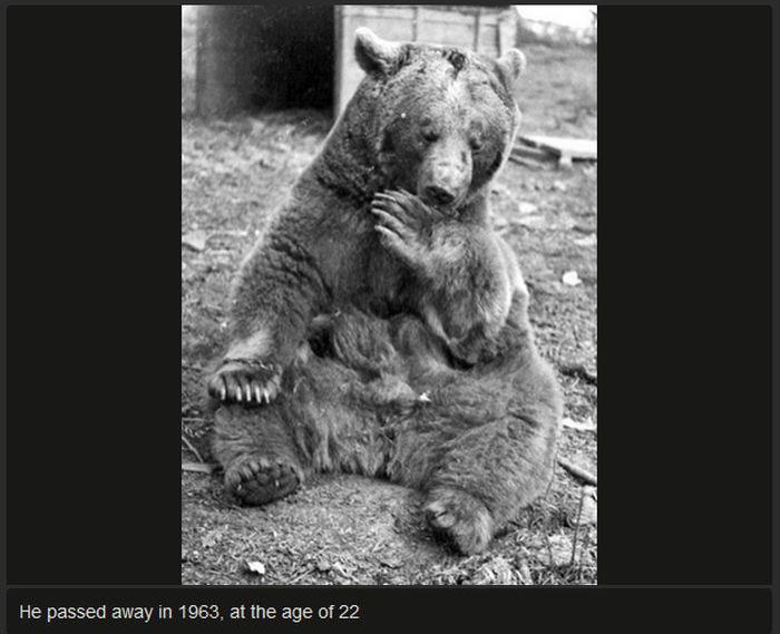 Meet Voytek The Bear That Was Raised By Soldiers (18 pics)