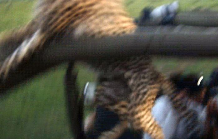 Clumsy Cheetah Tries To Look Cool But Fails (10 pics)