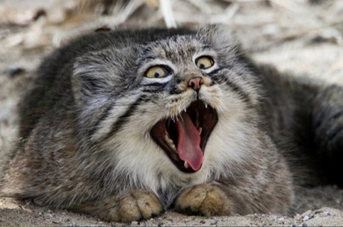 Pallas Cat Makes Funny Faces As He Yawns (5 pics)