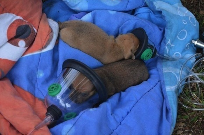 Firefighters Use Tiny Oxygen Masks To Save Puppies (6 pics)