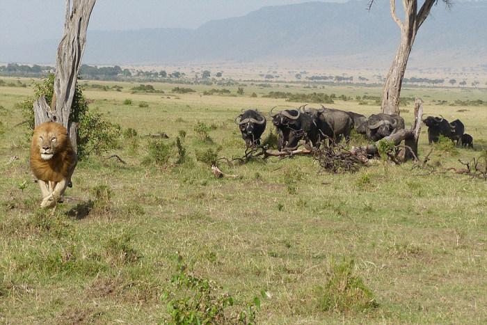 Lion Climbs A Tree To Escape A Herd Of Buffalo (5 pics)