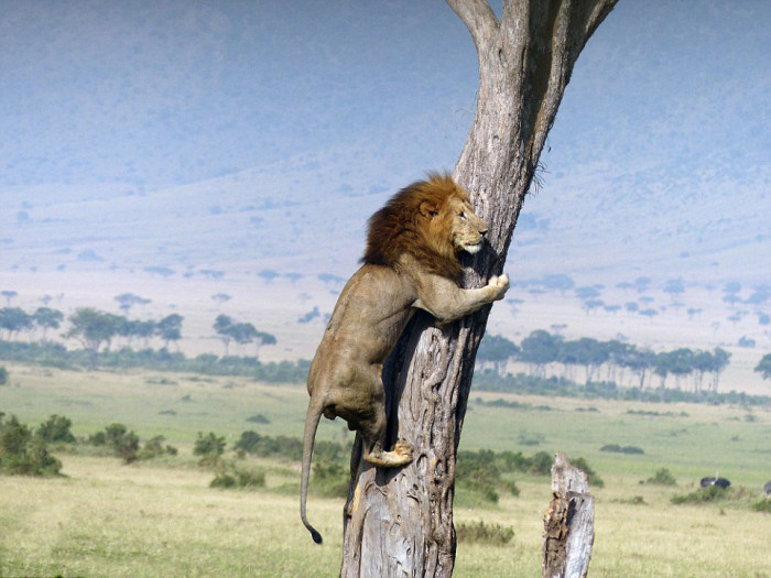 Λιοντάρι αναβάσεις ένα δέντρο για να ξεφύγουν από μια αγέλη βουβαλιών (5 φωτογραφίες)