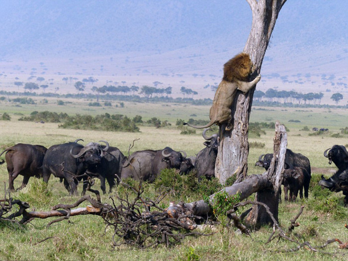 Lion Climbs A Tree To Escape A Herd Of Buffalo (5 pics)