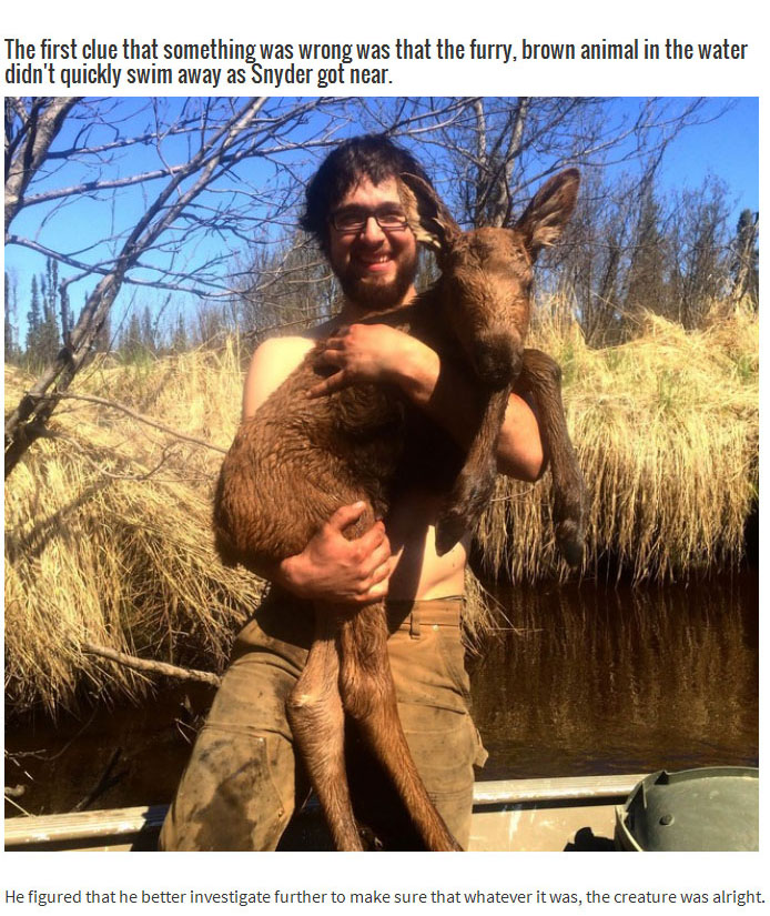 This Brave Man Saved A Baby Moose That Was Drowning In An Alaska River (4 pics)