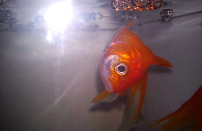 This Goldfish Couldn't Stay Upright So Someone Built Him A Wheelchair (2 pics)