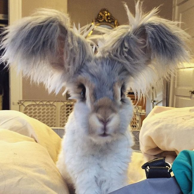 Meet Wally The Bunny With Ears That Look Like Wings (11 pics)