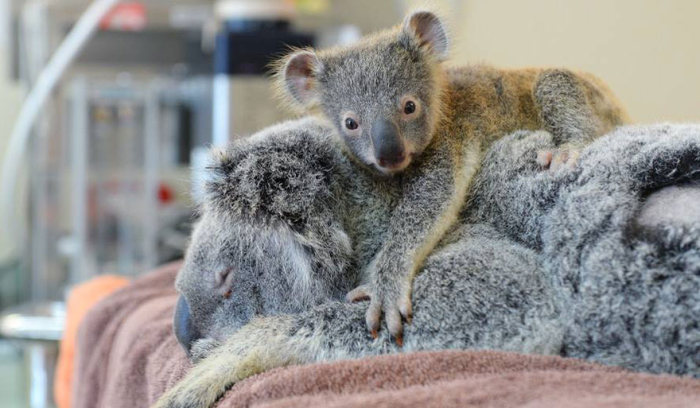 This Baby Koala Hugged His Mother During Her Life Saving Surgery (6 pics)