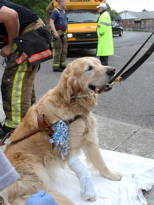 Guide Dog Saves Blind Owner's Life By Jumping In Front Of A Bus (5 pics)