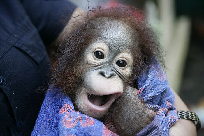 Baby Orangutan Gets A Bath At A Rainforest Refuge (4 pics)