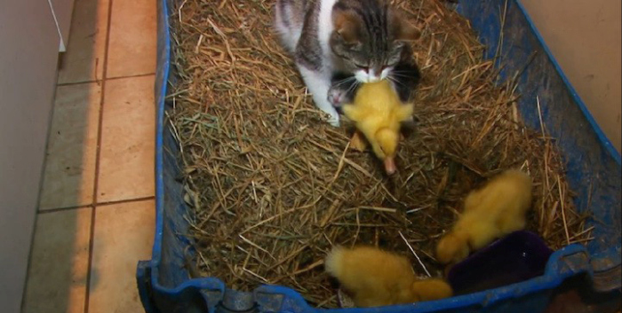 Cat Adopts And Raises Baby Ducklings (6 pics)