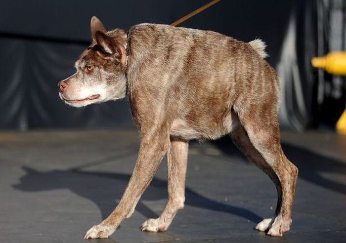 Meet The Dog That Won The World's Ugliest Dog Contest (6 pics)