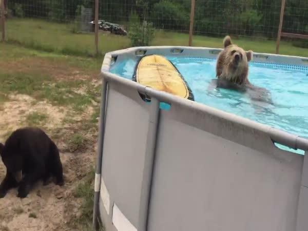 Bear Swims In The Pool