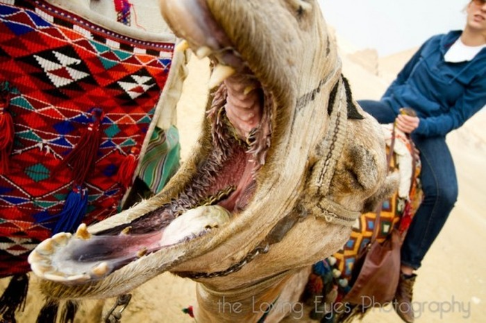 The Inside Of A Camel's Mouth Will Fuel Your Nightmares (7 pics)