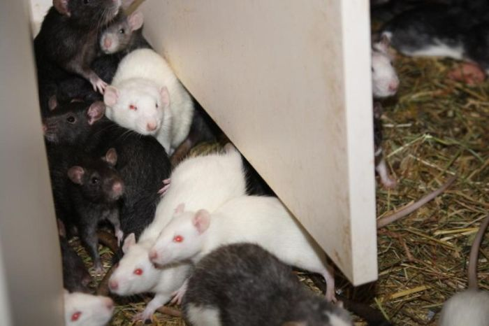 Three Hundred Rats Live Together In A One Bedroom Apartment (14 pics)
