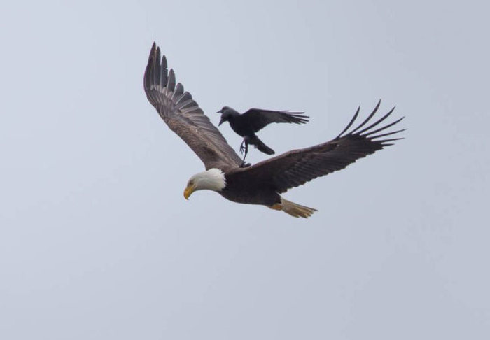 This Crow Hi-Jacked An Eagle And Went For A Ride (5 pics)