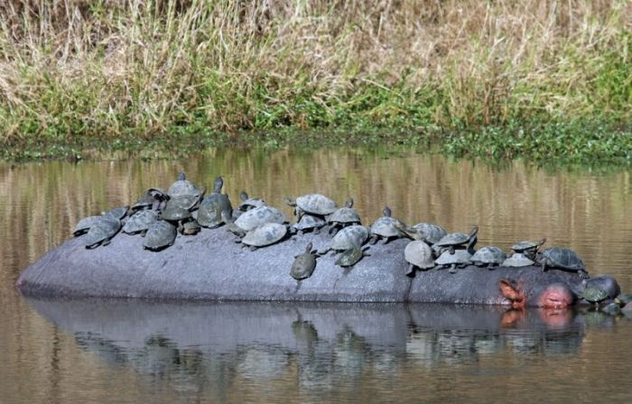 Turtles Catch A Ride On A Hippo (5 pics)