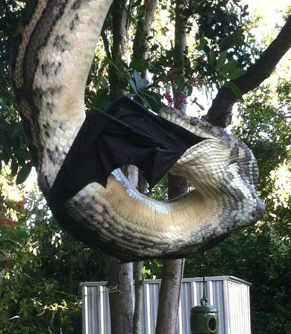 Huge Python Swallows Bat in Australia (4 pics)