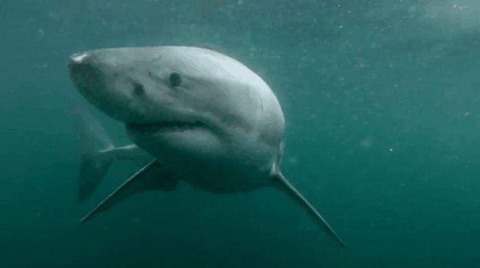 Terrifyingly Shark GIFs (16 gifs)