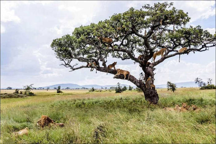 How Many Lions Can You Fit In One Tree? (14 pics)