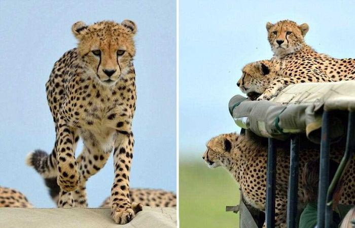 That Awkward Moment When A Cheetah Jumps In Your Jeep (4 pics)