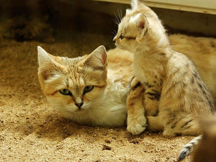 If You Want A Cat That Stays A Kitten Forever You Need A Sand Cat (10 pics)