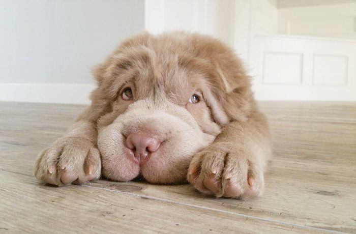 The Shar-Pei Is An Adorable Breed Of Dog (23 pics)