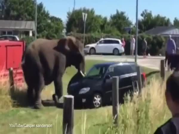 Elephant Attacks Car