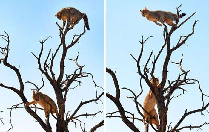 Desperate Cat Leaps Through Trees To Escape A Lynx (4 pics)