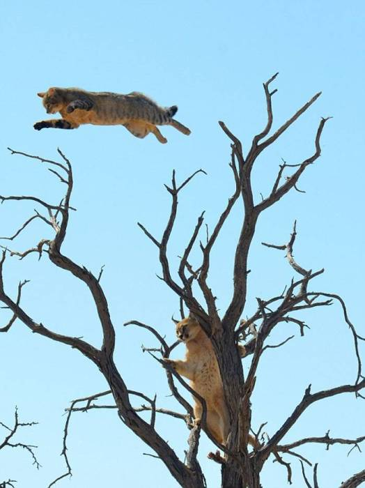 Desperate Cat Leaps Through Trees To Escape A Lynx (4 pics)