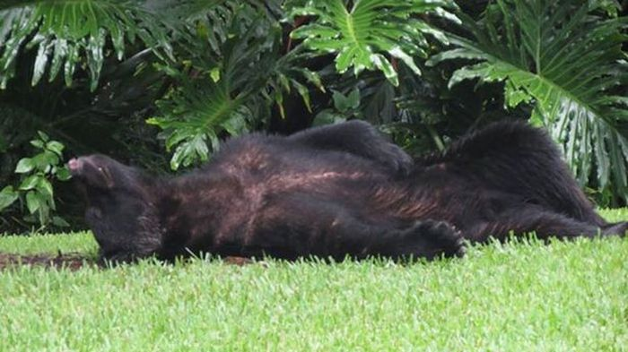 Massive Black Bear Passes Out On The Lawn After Eating 20 Pounds Of Dog Food (3 pics)