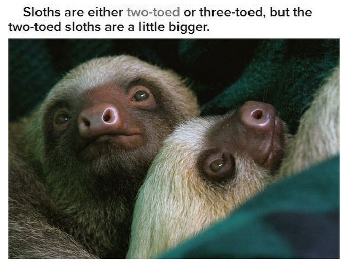 Fun And Interesting Facts About Sloths (17 pics)
