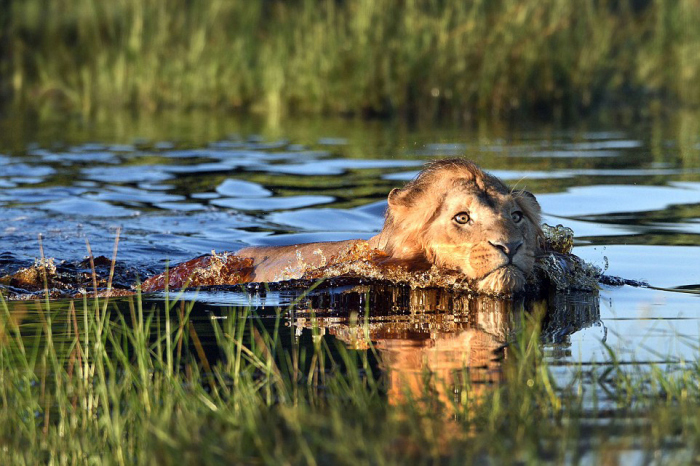 Lion Swims For His Life After Encountering A Crocodile In A River (7 pics)