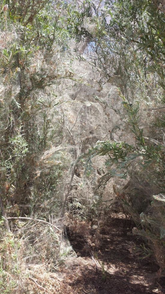 Spiders Overtake Trail To The Lake (5 pics)