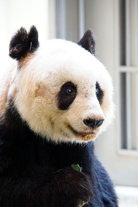37 Year Old Panda Sets Guinness World Record (3 pics)