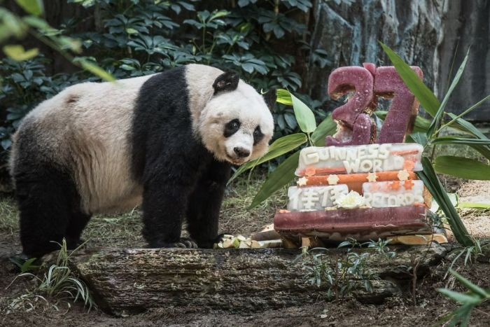 37 Year Old Panda Sets Guinness World Record (3 pics)