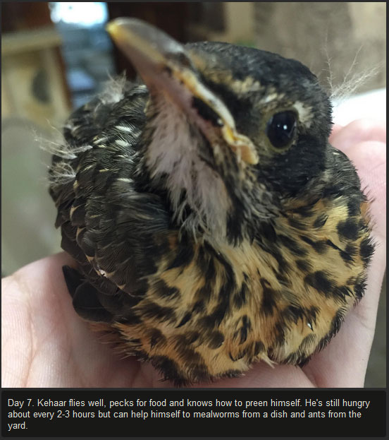 Injured Baby Bird Makes A Full Recovery (10 pics)