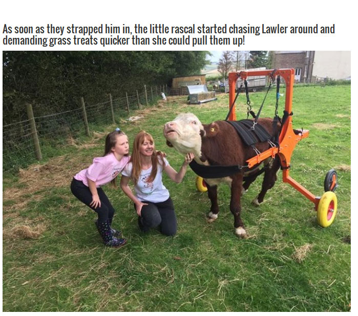 These Farmers Went Out Of Their Way To Save The Life Of A Cow (8 pics)