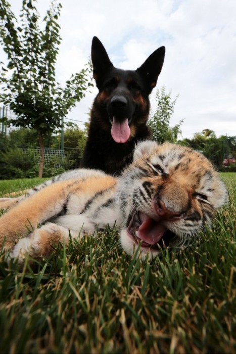 Meet The Tiger Cub That's Being Raised By Dogs (9 pics)