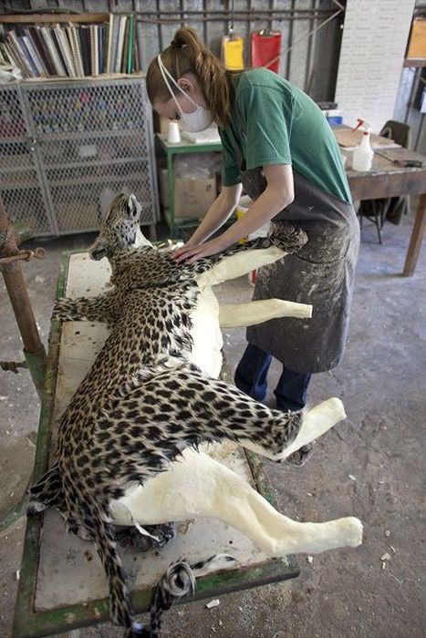 Behind The Scenes At A Namibian Taxidermy Studio (17 pics)
