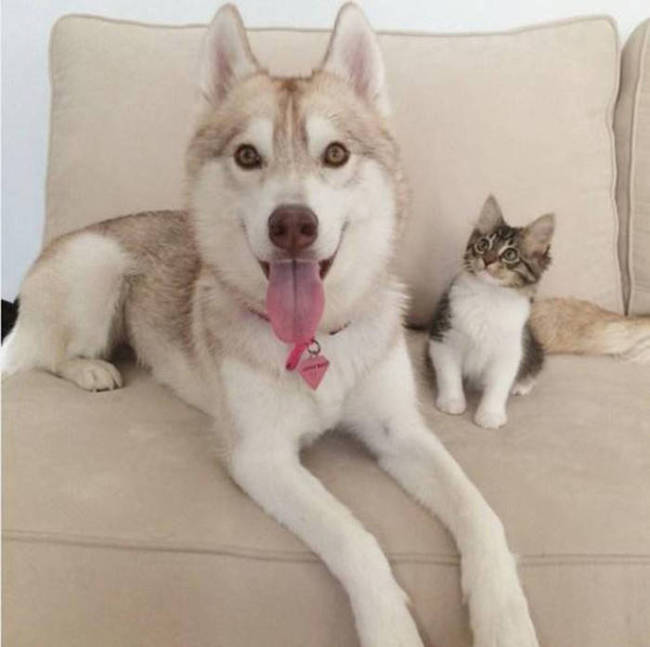 Husky Steps Up To Take Care Of A Sick Rescue Kitten (12 pics + video)