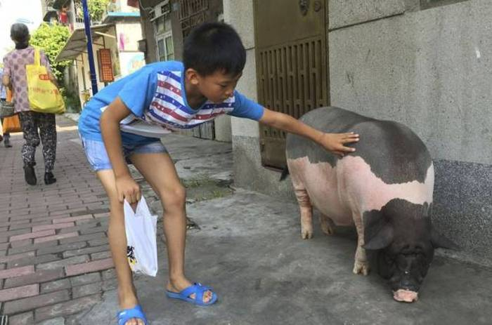 This Woman Just Wanted A Small Pet Pig But She Got So Much More (4 pics)