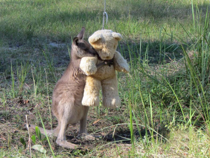Orphaned Baby Kangaroo Won't Let Go Of His Teddy Bear (2 pics)