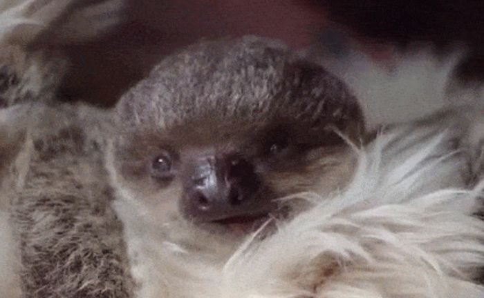 This Tiny Sloth Is The Most Adorable Animal You'll Ever See (7 gifs)