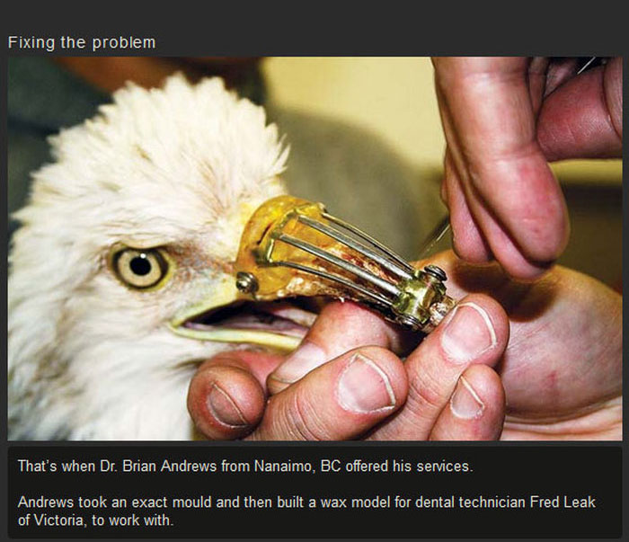 Dentist Saves Eagle By Giving Him A New Beak (3 pics)