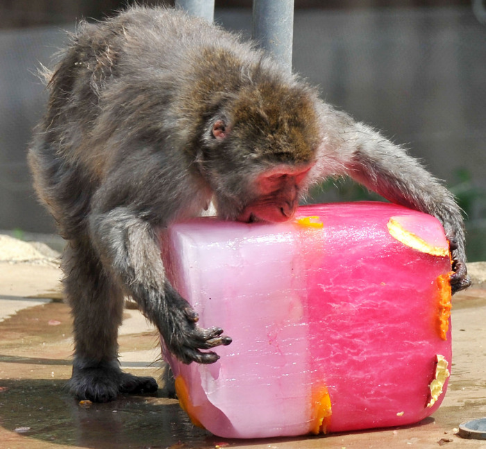 Animals Stay Cool In The Summer Heat By Eating Icy Treats (13 pics)
