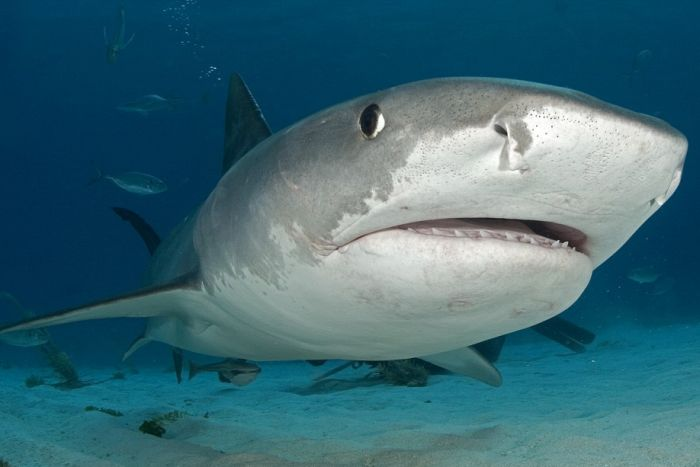 This 18 Foot Monster Shark Will Keep You Out Of The Ocean For Life (2 pics)